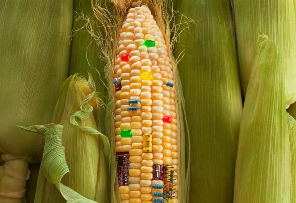 A génmódosított kukorica, ami olyan méreganyagot termel, ami elpusztítja egy bizonyos lepkefaj hernyóit