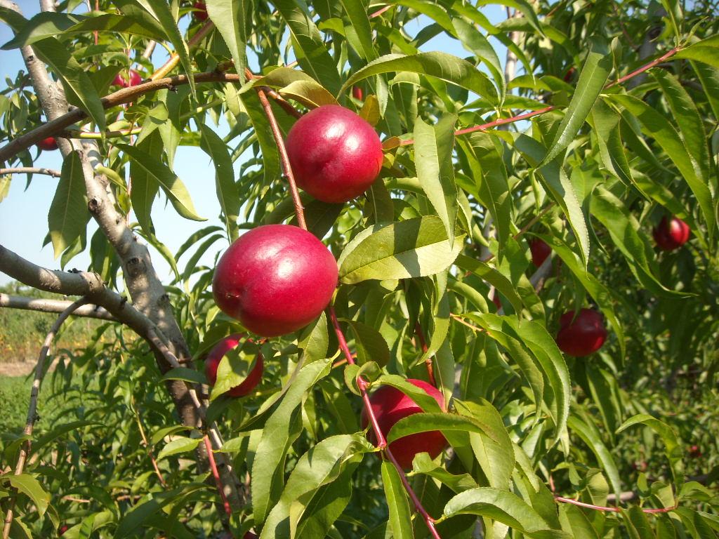 A nektarin az egyik legtöbb tápértékkel rendelkező gyümölcs.