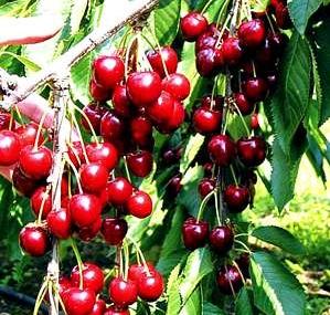 A cseresznye pozitív hatásai népszerűvé tette ezt a gyümölcsöt.