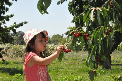 A cseresznye szedés a kisgyerekeknek is örömet okoz.